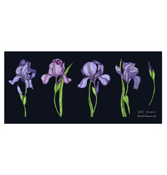 botanical set of iris flowers in color vector image