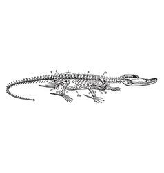 Crocodile skeleton vintage vector