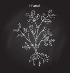 peanut or groundnut arachis hypogaea vector image