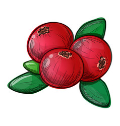 Cranberry on a white background vector