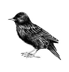 hand drawn starling vector image
