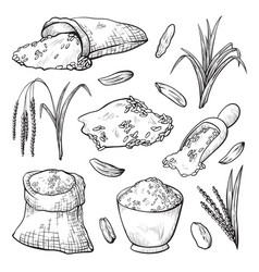 grain spikelets rice harvesting hand drawn vector image