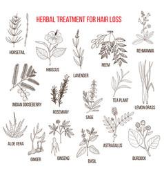 medicinal herbs for hair loss treatment vector image