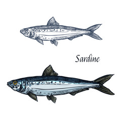 Sardine fish isolated sketch icon vector