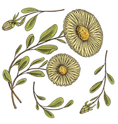 herb medicinal chamomile or daisy wheel vector image