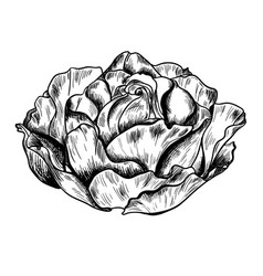 highly detailed hand drawn rose vector image