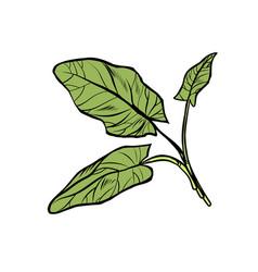 sorrel garden culinary plants spices isolate vector image