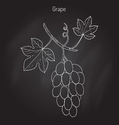 common grape vine vector image vector image