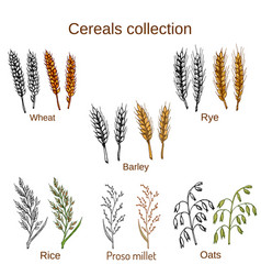 Set of cereals barley rye oats rice proso vector