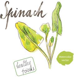watercolor spinach vector image