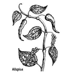 natural allspice botanical hand drawn sketch vector image