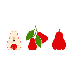 rose apple vector image