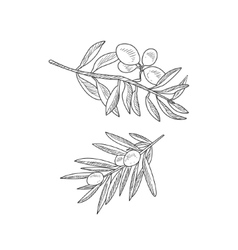 Two Olive Branches Hand Drawn Realistic Sketch vector