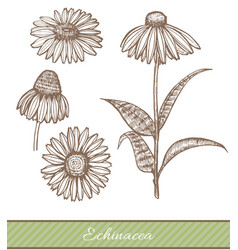 Echinacea in hand drawn style vector