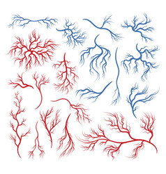 human veins and arteries vector image