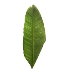 naturalistic colorful leaf banana palm vector image