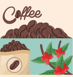 Coffee beans tree sac fresh vector