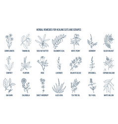 Herbal remedies for healing cuts and scrapes vector