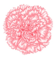 Pink carnation isolated on white background vector