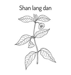 Anisodus tanguticus medicinal plant vector