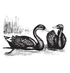 Black swan vintage vector