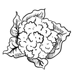 cauliflower drawing on white background vector image