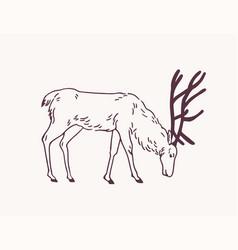 Male deer reindeer or stag grazing on pasture vector