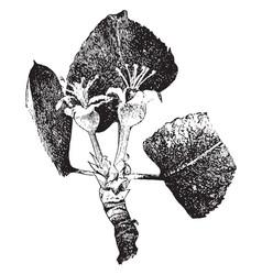 Apple blossom vintage vector