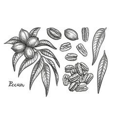 Ink sketch of pecan vector
