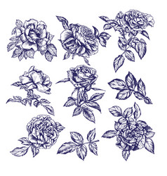 realistic roses with leaves hand drawn sketch vector image