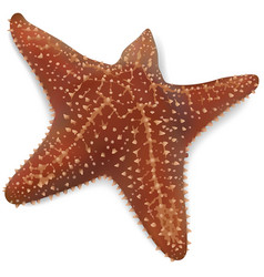 Starfish on a white background vector