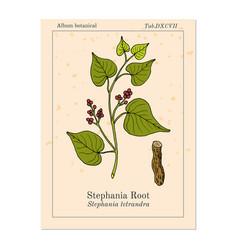 Stephania tetrandra medicinal plant vector