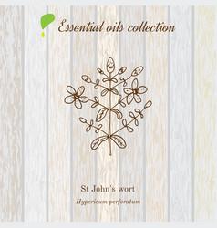 Hypericum essential oil label aromatic plant vector