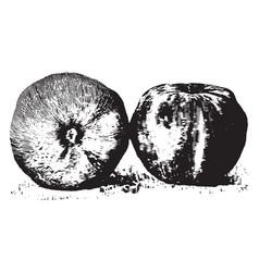jonathan apples vintage vector image