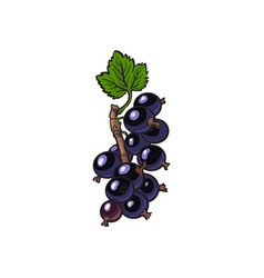 black currant blackberry ripe berry vector image