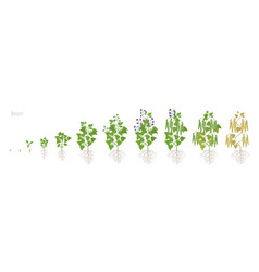 Growth stages bean plant with roots bean vector