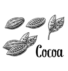 Leaves and fruits of cocoa beans vintage vector