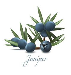 juniper branch with berries in realistic style vector image