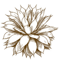 engraving of agave bush vector image
