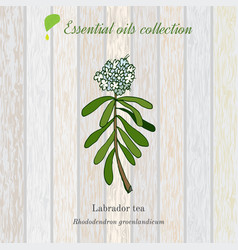 Labrador tea essential oil label aromatic plant vector