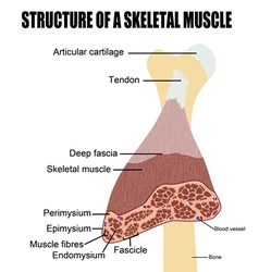Structure of a skeletal muscle vector