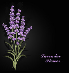 Beautiful lavender flowers on black background vector