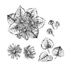 Hand drawn linden flowers and leaves vector