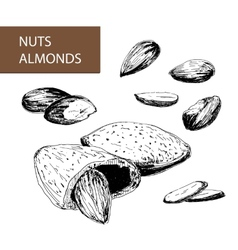 Nuts almonds vector