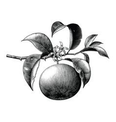 antique botanical engraving orange branch vector image