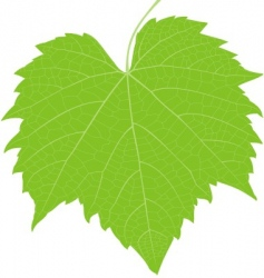 grape leaf high detail vector image
