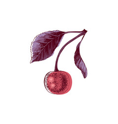 hand drawn cherry vector image