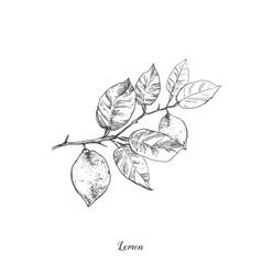 hand drawn vintage lemon plant elements vector image