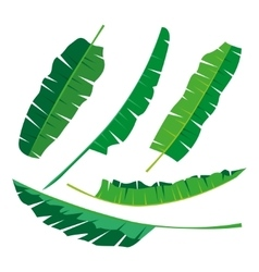 Tropical banana Leaves Collection isolate vector image vector image