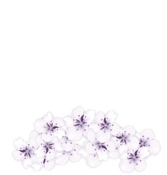Design bottom frame blossoming bouquet sakura vector